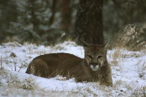 It's Mountain Lion Season!